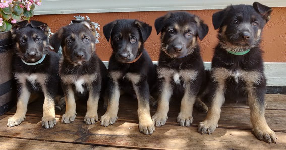 German Shepherd Puppies For Sale In Florida – The Lord Shepherds